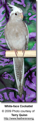 White-face Cockatiel Hen