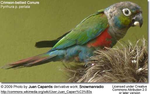 Crimson-bellied Conure by Juan Caparros