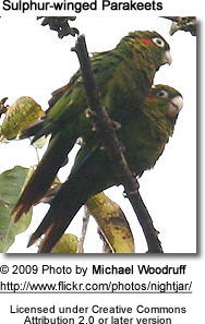 Sulphur-winged Parakeets