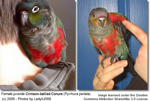 Female, juvenile Crimson-bellied Conure by Ladyk2008