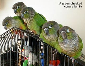 greencheekconure