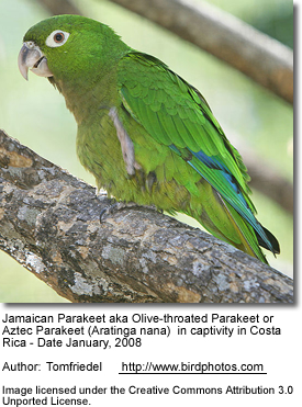 Jamaican Conure or Olive-throated Conure