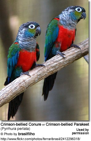 Pearly Conures by jacob79