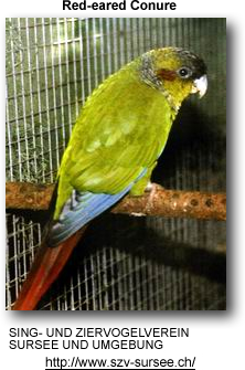 Red-eared Conure