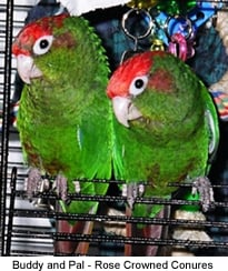 Red-crowned Conures