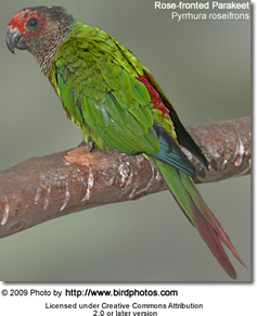 Rose-fronted Conure