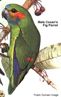 Male Coxen's Fig Parrot