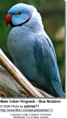 Blue ringneck parrot for sale in bangalore dating