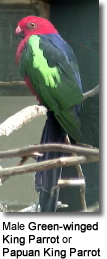 Green-winged King Parrot aka Papuan King Parrot (Male)