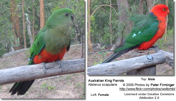 Male and Female Australian King Parrots