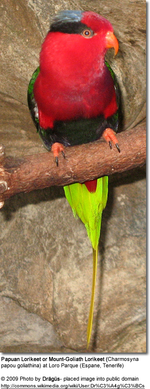 Mount Goliath Lorikeets