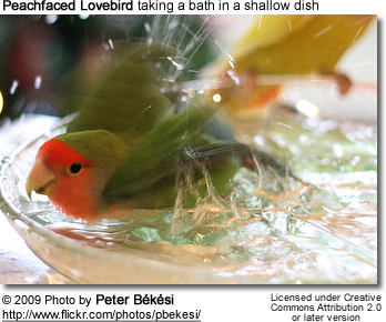 Bathing Peachfaced Lovebird
