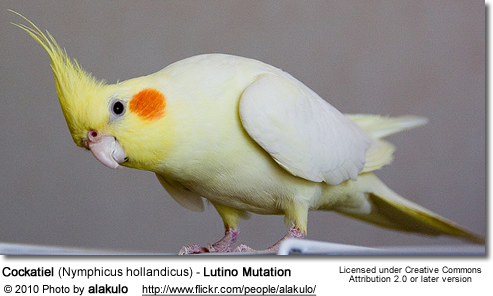 Lutino or Pied Cockatiel
