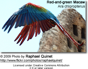Red-and-green Macaw or Green-winged Macaw (Ara chloroptera)