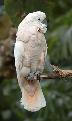 Mollucan Cockatoo