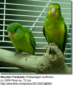 Mountain Parakeets or Golden-fronted Parakeets