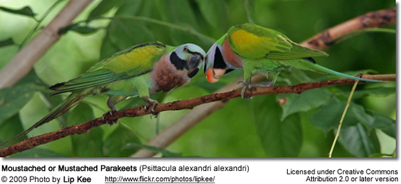 Mustached / Moustached / Java-moustached Parakeets | Beauty