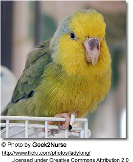 Yellow-faced Pacific Parrotlet (Male)