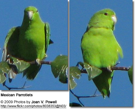 Mexican Parrotlets