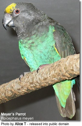 Meyer's Parrots or Brown Parrots (Poicephalus meyeri)