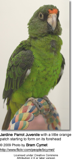 Jardine Parrot Juvenile with a little orange patch starting to form on its forehead