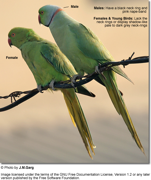 Indian Ringneck Pair (female to the left)