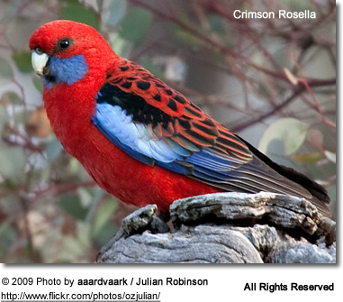 Crimson Rosella Adult