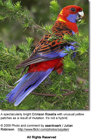 Sex differences in the eastern rosella