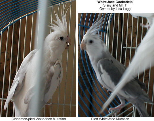 White-face Cockatiels