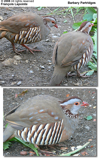 Barbary Partridges