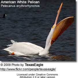 American White Pelican: Where is that fish?