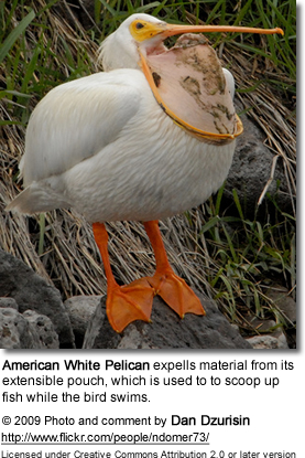 Pelican expells material from extensible pouch, which is used to to scoop up fish