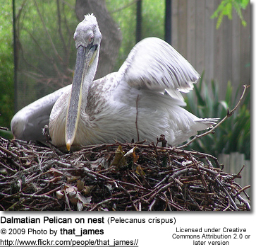 Dalmatian Pelican on nest (Pelecanus crispus) on nest