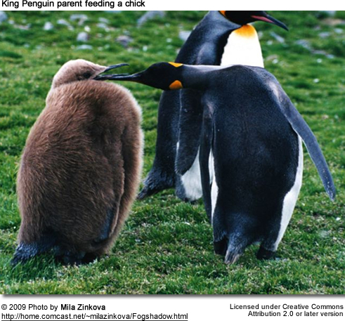 King Penguin Parent feeding Chick