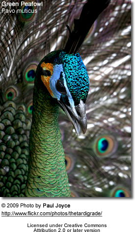 green peafowl also known as dragonbirds beauty of birds
