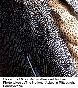 Close-up of Great Argus feathers