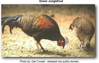 Green Junglefowl