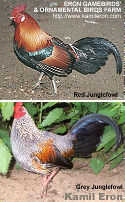 Jungle Fowl