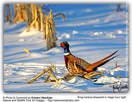 Ring-neck or Common Pheasant