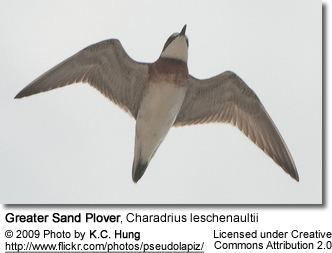 Greater Sandplover - Flying