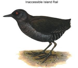 Inaccessible Island Rail