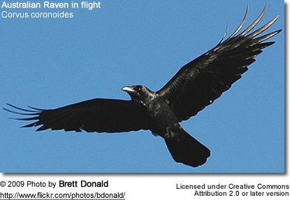 Australian Raven in flight