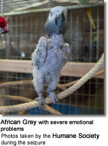 Rescued African Grey