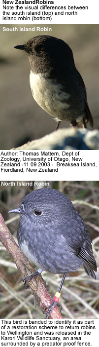New Zealand Robins