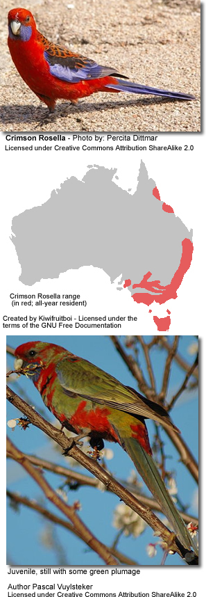 Crimson Rosella by Percita Dittmar