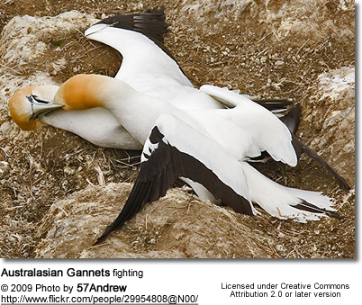 Australasian Gannets fighting