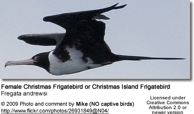 Female Christmas Frigatebird or Christmas Island Frigatebird