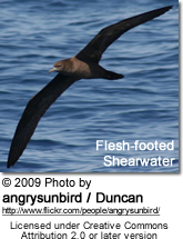 Flesh-footed Shearwater, Puffinus carneipes