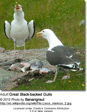 Adult Great Black-backed Gulls