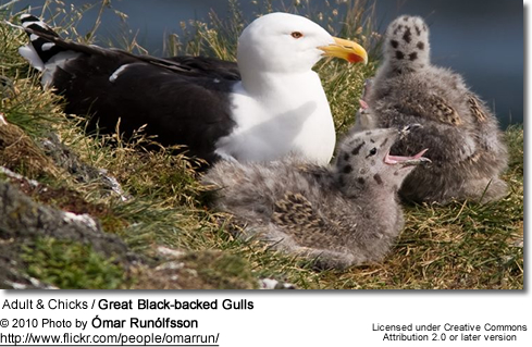 Adult and Chicks / Great Black-backed Gulls
